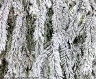 Větve jedle úplně zmrzlý za den je velmi studená zima