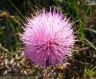 Mimosa borealis květ