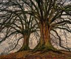 Dva staré stromy bez listí v zimě