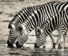 Tři zebry pití