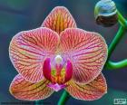 Puzle Orchidej Phalaenopsis