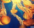 Chrysaora fuscescens