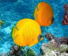 Butterfly ryby citrón