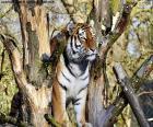 Tygr, řízení jeho území