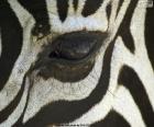 Oka zebra