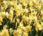 Puzle Pole Narcisu