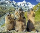 Tři alpští groundhogs