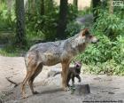 Vlk a chov