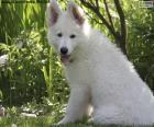 Bílý švýcarský ovčák pes štěně