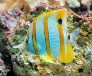 Puzle Ryb butterflyfish