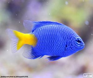 Puzle Ryby klaun modrý