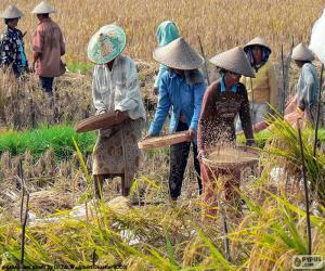Puzle Sklizeň rýže, Indonésie