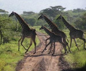 Puzle skupina žiraf křížení silnice