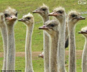 Puzle Skupina pštrosi