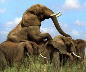Puzle Skupina slonů, velkých zuby
