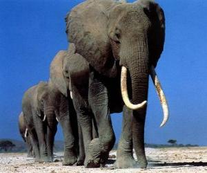 Puzle Sloni chůze