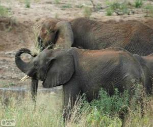 Puzle Sloni jíst byliny