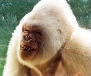 Puzle Snowflake, jediný albín gorila ve světě, že jeden je vědom