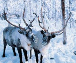 Puzle Sobí Vánoce v lese