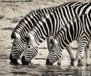 Puzle Tři zebry pití