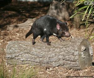 Puzle Tasmánský démon