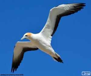 Puzle Terej bílý, létání