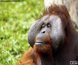 Puzle Tvář muže orangutan