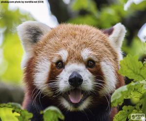 Puzle Tvář Panda červená