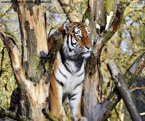 Puzle Tygr, řízení jeho území