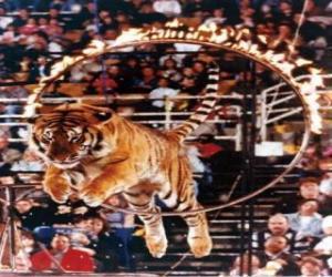 Puzle Tygr vyskakující uvnitř kruhu ohně