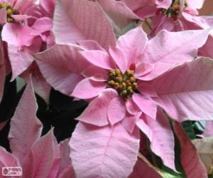 Puzle Vánoční květina, růžová