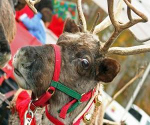 Puzle Vánoční sob s límečkem s rolničky