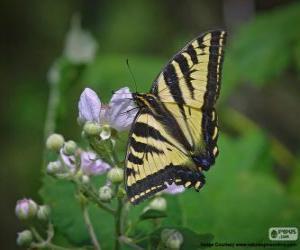 Puzle Východní tiger otakárek, motýl původní ve východní Severní Amerika