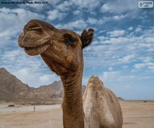 Puzle Velbloud v poušti