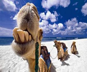 Puzle Velbloudi Tří králů odpočívá na své cestě do Betléma