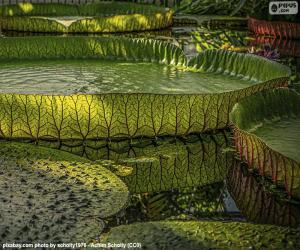 Puzle Velký Vodní lilie