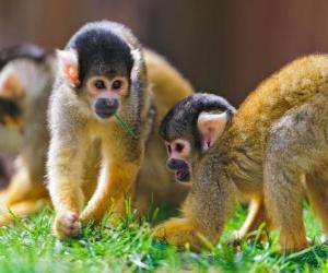 Puzle Veverka opice