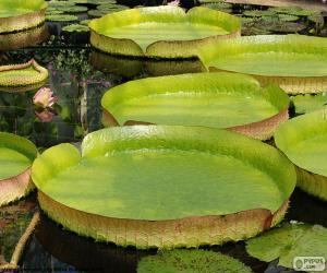 Puzle Vodní lilie