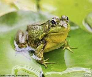 Puzle Zelená žába
