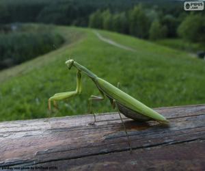 Puzle Zelená Kudlanka nábožná