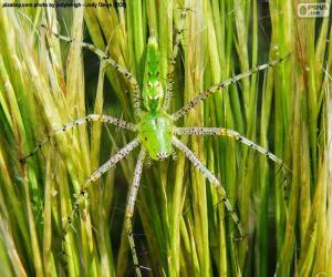 Puzle Zelená lynx pavouk